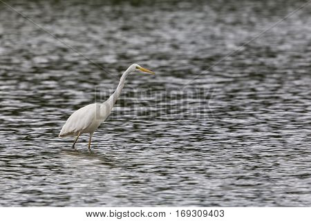 Great white Egret (egretta alba) walking and wading in water