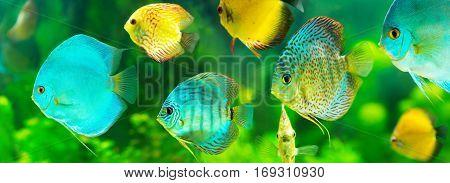 colorful tropical discus fish on green background banner