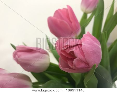 the pink tulips on Valentine's day for your beloved