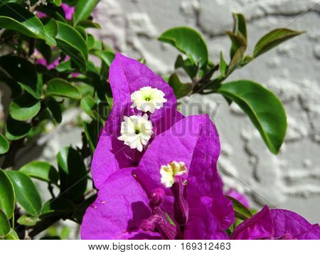 Bougainvillea purple pink flower against a white wall