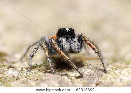 A jumping spider on the rock, Lovely big eyes jumping spider on the rock