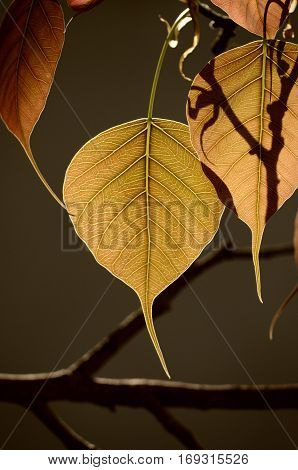 sacred fig leaf with warm sunlight in sri lanka