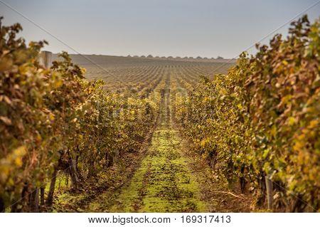 Beautiful autumn field grape morning at dawn