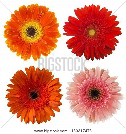 Big Selection of Colorful Gerbera flower (Gerbera jamesonii) Isolated on White Background. Various red, pink, orange