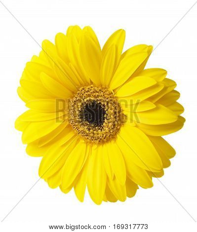 Vibrant bright yellow gerbera daisy flower blooming isolate on white background