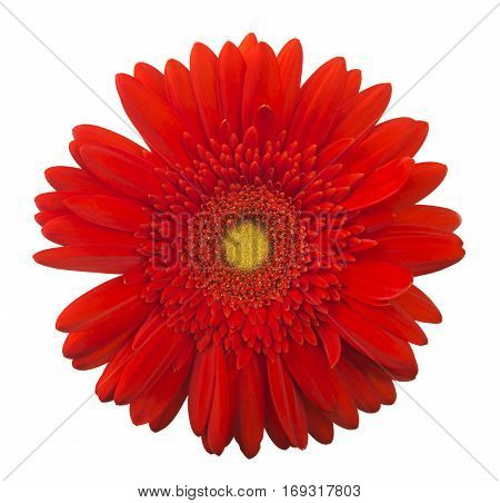 Vibrant bright red gerbera daisy flower blooming isolate on white background