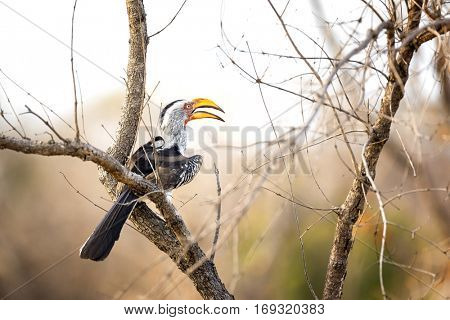 Yellow-billed hornbill sitting in a tree. Kruger National Park, South Africa.