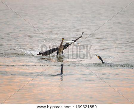 Cormorant Black cormorants with a fish