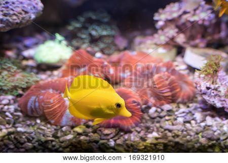 zebrasoma salt water aquarium fish