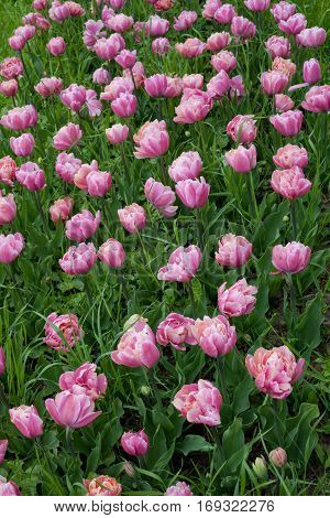Background of many of pink tulips in the grass