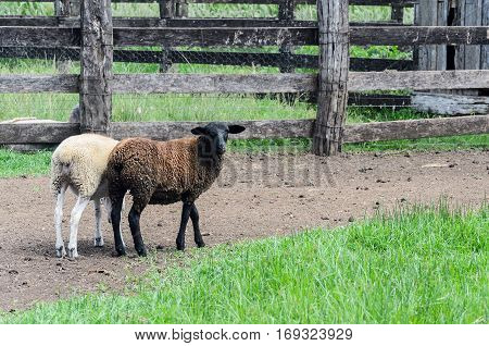 Two sheep walking through the farmyard. A white sheep and a brown sheep with fences around.