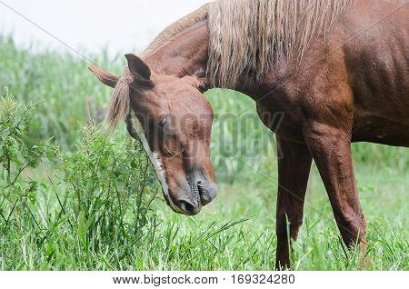 Brown Horse Upset In Green Farm Grass Field