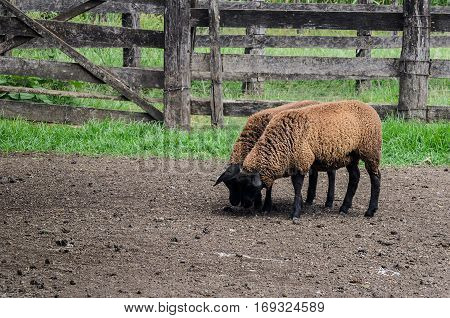 Two black sheeps walking through the farmyard. Two brown sheep side by side with fences around.