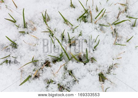 Green leaves of grass under snow growing out of the snow in early spring