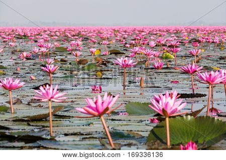 Talay Bua Daeng is a lake near Udon Thani in Thailand full with red lotosflowers