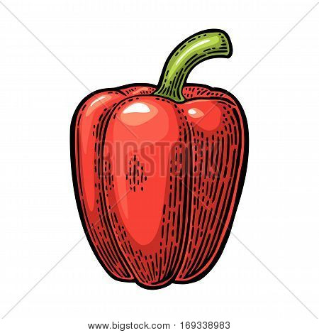 Sweet bell red pepper. Vector vintage engraved color illustration for menu, poster. Isolated on white background