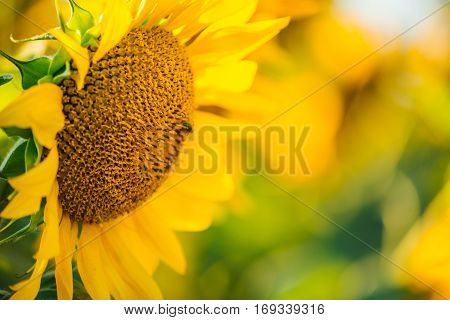 Beautiful sunflowers blossom against blue sky in a rural country field