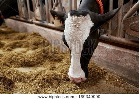 agriculture industry, farming and animal husbandry concept - cow eating hay in cowshed on dairy farm
