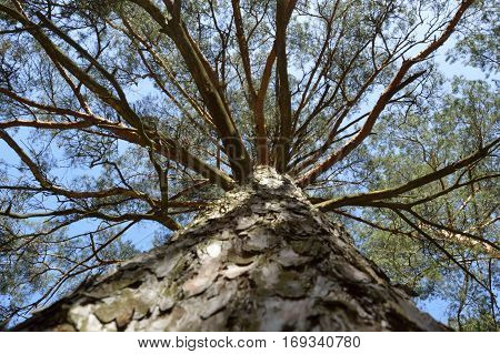 Trunk and divergent branches of the pine-tree from below