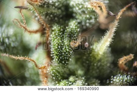 Closeup of mature cannabis indica female bud.