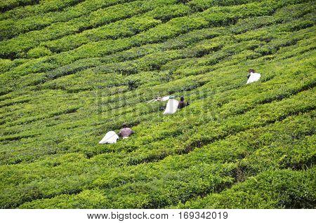 CAMERON HIGHLANDS MALAYSIA- 30 DECEMBER 2016: Tea Worker picking tea leaves in a tea plantation Cameron Highlands Malaysia.