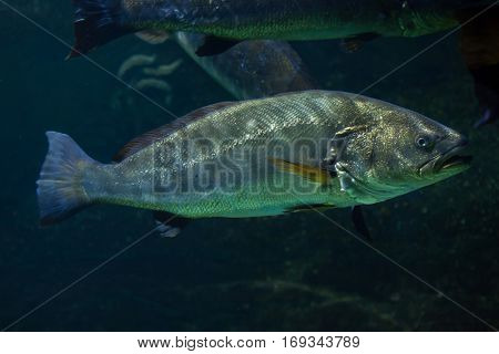 Meagre (Argyrosomus regius), also known the Atlantic shadefish.
