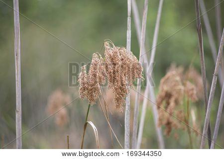 Dried Weeds