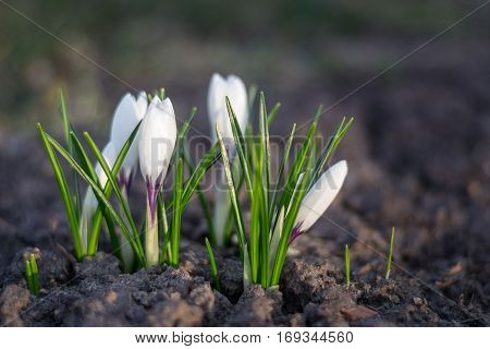 White crocus over empty ground in spring. Blossom flower as purity symbol, new beginning and nature awakening