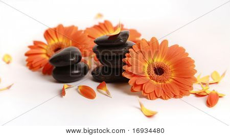 orange gerber daisy and stones isolated on white