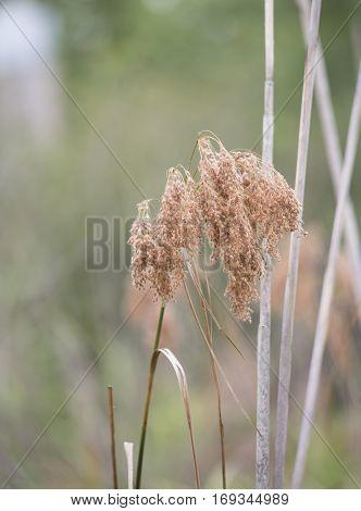 Dried Weed