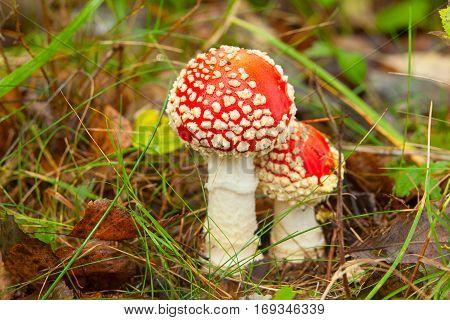 Beautiful Amanita  Mushroom Growing In Forest