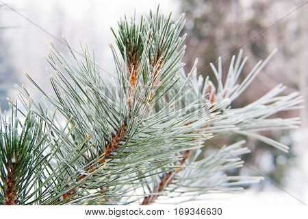 beautiful snow-covered branches of spruce winter bright day