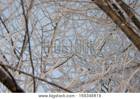 snow-covered branches of trees in the sun in the winter clear day