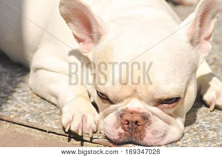 sleeping French bulldog or white French bulldog on the floor