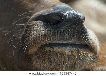 Thai buffalo close up to face animals