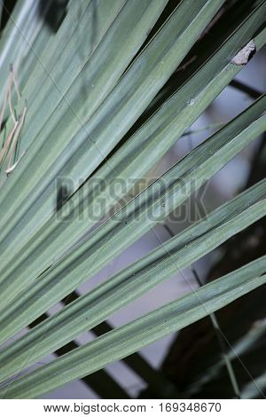 Close up of the blades of a palmetto bush