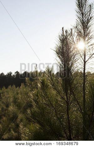 Seedling Pine Trees