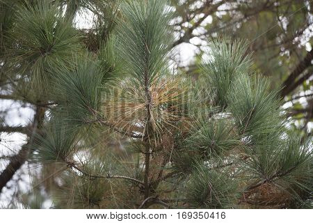 Pine Needles In The Fall