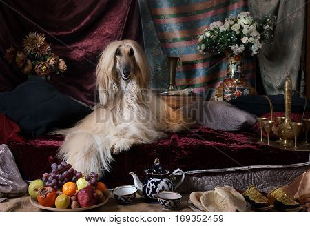 Graceful Afghan hound dog lying on the carpet in the Arab style interior with
