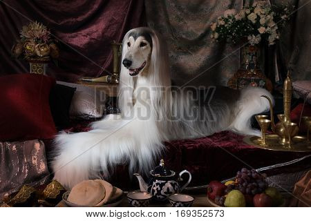 Purebred white Afghan hound dog lying on the carpet in the Arab style interior