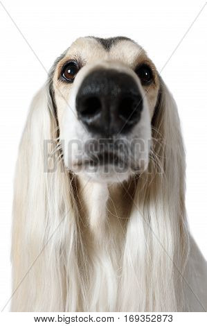 Close-up headshot of Afghan Hound Dog looking at the camera isolated on white background