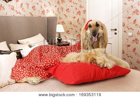 Afghan hound dog dressed in a red dress and lying on the bed in the bedroom