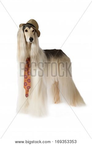 Afghan hound dog (eight years old) in the hat and tie standing on white background