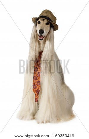 Afghan hound dog (eight years old) in the hat and tie sitting on white background