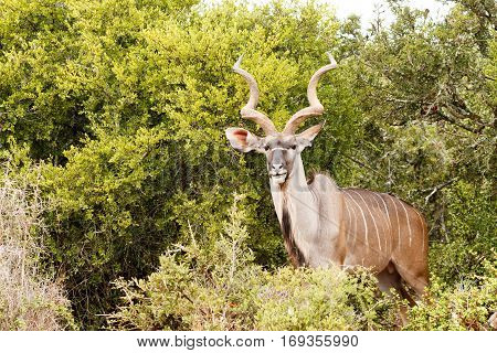 Greater Kudu Standing Between All The Bushes