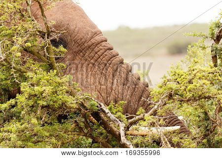 Bush Elephant Hiding Between The Thorny Bushes
