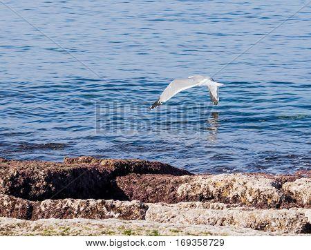 Mediterranean Gull Flies Above The Surface Of The Mediterranean Sea