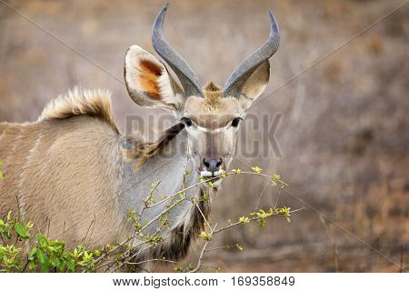 Young male kudu grazing on fresh green shoots in Kruger National Park, South Africa, , leaves,