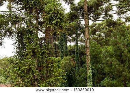 Araucaria Angustifolia in Gramado, Brazil