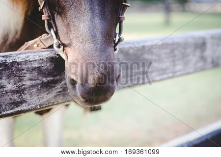 Close up and selective focus on horse muzzle with chin groove lay on stable